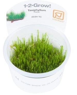 TROPICA12GROWTaxiphyllumFlamemos003HTC-31