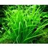 TROPICA12GROWHelanthiumtenellumGreenDvrgsvrdplante067ATC-01