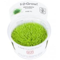 TROPICA 1-2 GROW Utricularia graminifolia Blærerod (049BTC)