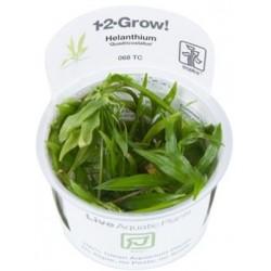 """TROPICA 1-2 GROW Helanthium """"Quadricostatus"""" Dværgsværdplante (068 TC)"""