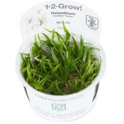 "TROPICA 1-2 GROW Helanthium tenellum ""Green"" Dværgsværdplante (067A TC)"