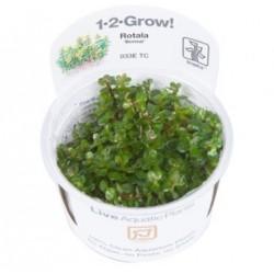 "TROPICA 1-2 GROW Rotala ""Bonsai"" (033E TC)"