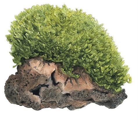 monosolenium tenerum2